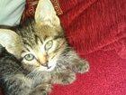Фотография в Отдам даром - Приму в дар Отдам даром Милый маленький котеночек , любит играть в Сарапуле 0