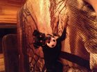 Изображение в Собаки и щенки Вязка собак Симпатичный той ищет девочку для вязки в Саратове 0