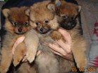 Фотография в Собаки и щенки Продажа собак, щенков Комочки счастья ждут своих хозяев! ! ! в Саратове 30000