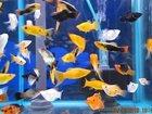 Фото в Рыбки (Аквариумистика) Аквариумные рыбки Продам мальков моллинезии сфенопс черного, в Саратове 0