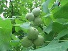 Изображение в Домашние животные Растения продам районированный грецкий орех Идеал в Саратове 300