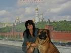 Фотография в   Красивый, мощный высокопородный бульмастиф, в Саратове 15000