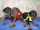 Изображение в Собаки и щенки Продажа собак, щенков К резервированию предлагаются щенки добермана в Саратове 20000
