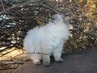 Фото в Кошки и котята Продажа кошек и котят Привитая, неразвязанная кошечка, ищет похожего в Саратове 1000