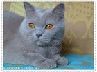 Изображение в Кошки и котята Продажа кошек и котят За символическую плату предлагается британская в Саратове 6000