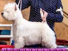 Фотография в Собаки и щенки Вязка собак Предлагается для вязки красивый племенной в Саратове 0