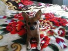 Фото в Собаки и щенки Вязка собак СЭМ 2, 5кг ищет девочку для вязки (не развязан)п. в Саратове 0