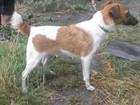 Новое изображение Вязка собак Девочка Фокстерьер ищет мальчика для вязки 38532726 в Саратове