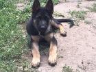 Увидеть фотографию  Кабель немецкой овчарки ждёт подругу!) 38585884 в Саратове