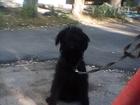 Скачать фото Вязка собак Ищу девочку ризеншнауцера для вязки 45834292 в Саратове
