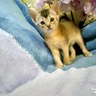 Абиссинские котятки минипумы