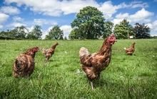 Куры несушки рыжи хайсекс браун мясо яичная порода