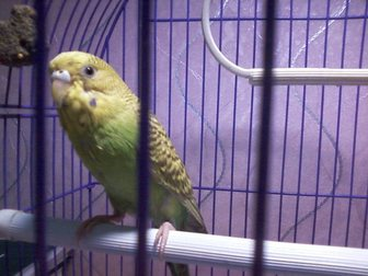 Новое фотографию Птички Отдам даром попугая, самка 8 мес, окрас желто-зеленый 34383772 в Саратове
