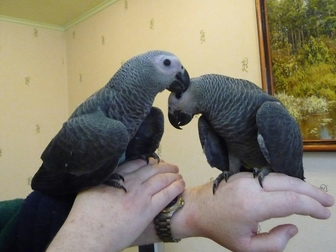 Новое foto  Продам крупных и средних попугаев различных видов от птенца до взрослой птицы, 37157253 в Саратове
