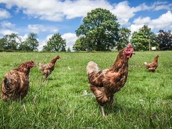 Просмотреть изображение  куры несушки рыжи хайсекс браун мясо яичная порода 67705920 в Саратове