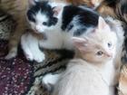 Изображение в  Отдам даром - приму в дар Отдам котят в хорошие руки, три кота (2 рыжих, в Сатке 0