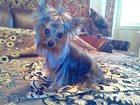 Изображение в Собаки и щенки Продажа собак, щенков Продается щенкок йорка (девочка 2, 5 месясца), в Сергиев Посаде 25000