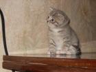 Изображение в   Подарю полубританскую кошечку трехцветную в Сергиев Посаде 0