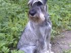Свежее foto Вязка собак вязка миттельшнауцер кобель 38450484 в Сергиев Посаде