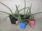 Фото в Домашние животные Растения АЛОЭ ВЕРА (Aloe Vera) - суккулентное травянистое в Серове 100
