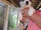 Изображение в   Продам щенков х а с к и - 2 месяца (остались в Серпухове 25000