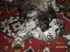 Фото в Кошки и котята Продажа кошек и котят Продаются британские котята, окрас мрамор в Серпухове 5000