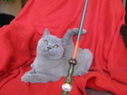 Свежее фото Продажа кошек и котят Британские котята лилового окраса 67391963 в Серпухове