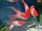 Новое фото Аквариумные рыбки Редкие Меченосцы Кои Кохаку (Альбиносы) 39837709 в Сестрорецке