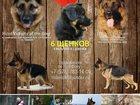 Фото в Собаки и щенки Продажа собак, щенков Щенки вобрали в себя всю мощь , интеллект в Севастополь 10000