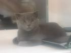 Изображение в Кошки и котята Вязка Нужна кошка британской разновидности для в Северодвинске 0