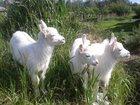 Изображение в Домашние животные Другие животные Продаю недорого двухмесячных комолых козочек в Шатуре 1500