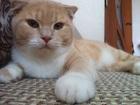Фото в   Шотландский вислоухий кот приглашает прямоухих в Симферополь 100