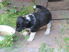 Фотография в Собаки и щенки Продажа собак, щенков Замечательный бутуз, родившийся 5 июня 2015 в Смоленске 0