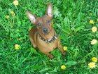 Фото в Собаки и щенки Продажа собак, щенков Продам щенков цвергпинчера, 4 мальчика, одна в Смоленске 6000