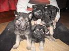 Фотография в Собаки и щенки Продажа собак, щенков щенки кобели из питомника Смоленская цитадель в Смоленске 10000