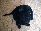 Фотография в Собаки и щенки Продажа собак, щенков Очаровательный щенок таксы ищет себе такого в Смоленске 1000
