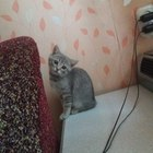 Отдам котенка от британской кошки