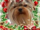 Фото в   Красивые высокопородные щенки Йорка, из профессионального в Советском 30000