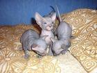 Фото в   Куплю котенка сфинкса в Старом Осколе 2000