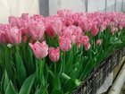 Фотография в Домашние животные Растения Предлагаем тюльпаны оптом к 8 Марта, 30 сортов. в Ставрополе 30