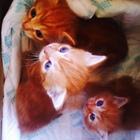 Персиковые котята пушистые
