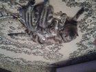 Фото в Кошки и котята Вязка Шотландская вислоухая кошечка ищет жениха. в Альметьевске 0