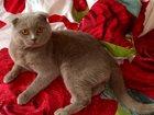 Фото в Кошки и котята Вязка Британский вислоухий кот, ищет кошку для в Сургуте 0