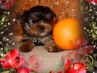 Фотография в   Красивые высокопородные декоративные щенки в Сургуте 25000
