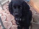 Смотреть foto Вязка собак Нужен кобель английского спаниеля для вязки 37399564 в Сургуте