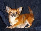 Изображение в Собаки и щенки Продажа собак, щенков Мини девочка -1 кг - в тигровой шубке ищет в Сургуте 25000