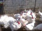 Изображение в Домашние животные Птички Продам белых широкогрудых индюков (8-12кг) в Таганроге 300