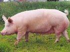 Свежее фото Корм для животных Кормовая добавка для свиней 15% 34248218 в Таганроге
