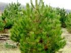 Увидеть фото  Продажа оптом новогодних сосен в любой регион 37505194 в Агрызе