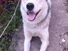 Изображение в Собаки и щенки Продажа собак, щенков Продается молодой щенок ХАСКИ, возраст 9 в Тамбове 10000